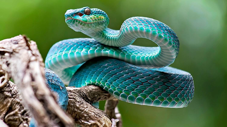 blue-viper-venomous-poisonous-snake-Venomous-Snakes-ss-Featured