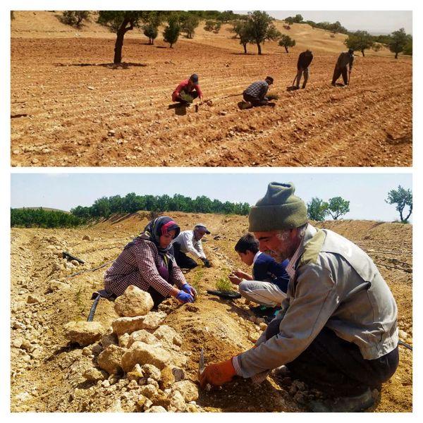 توسعه کشت گیاهان دارویی در شهرستان سامان