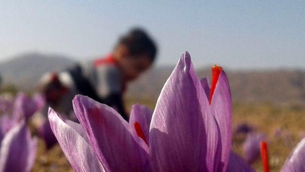 زعفران نگین کیلویی 6 میلیون تومان