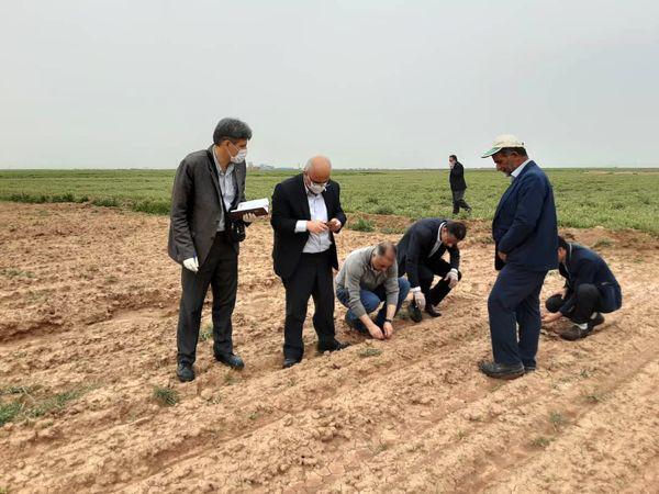 تاکنون 900 هکتار از مزارع کشاورزی استان قزوین به زیر کشت چغندر قند رفته است