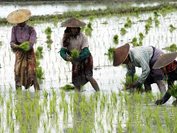 کشت برنج با استفاده از روشهای سازگار با محیط زیست