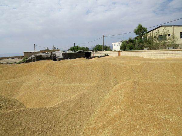 50هزار تن گندم از کشاورزان قزوینی خریداری شد