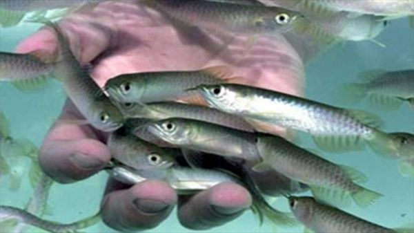 رهاسازی ۳۰۰ هزار بچه ماهی بومی در تالاب هورالعظیم