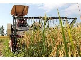 اولین برداشت برنج در ساری/کشت مکانیزه 18 هزار هکتاری