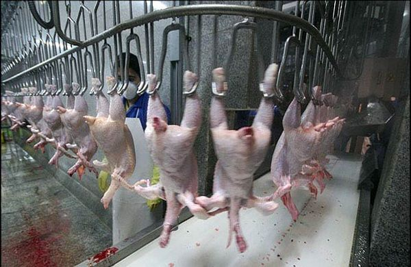 قطب اول تولید گوشت سفید استان اصفهان هنوز کشتارگاه ندارد