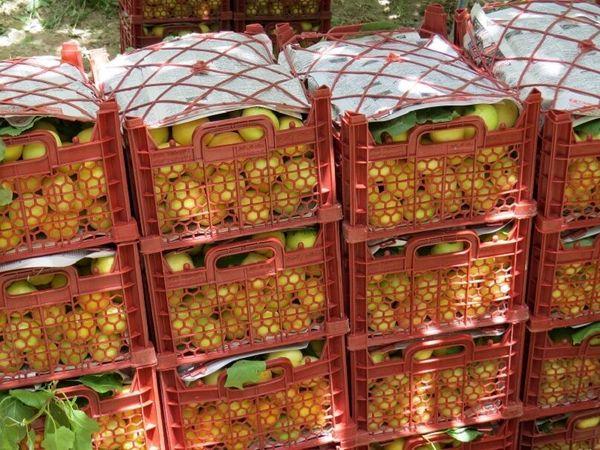 ۲۰ هزار تن زردآلو در استان یزد برداشت شد
