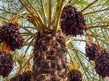 ادامه روند خرید تضمینی خرمای استعمران و استقبال نخلداران خوزستانی