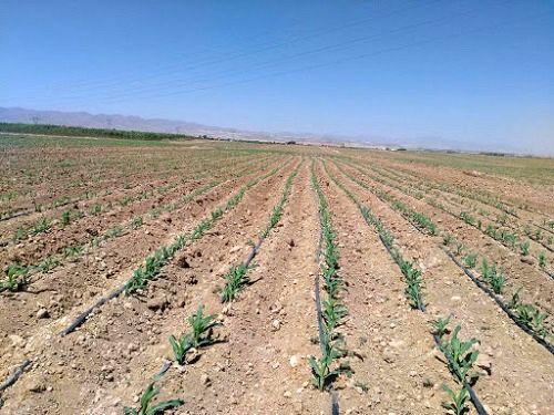 کاشت 2 هزار هکتار ذرت در کازرون