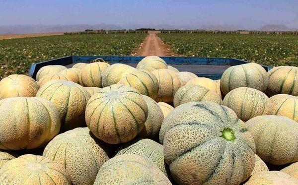 ۹ هزار تن طالبی امسال از مزارع شهرضا برداشت میشود