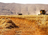 برداشت گندم در دامغان 1.5 برابر افزایش یافت