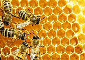 افزایش120درصدی تولید عسل در چهارمحال و بختیاری