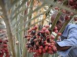 برداشت 2000 تن خرما از نخلستانهای شهرستان ارزوئیه