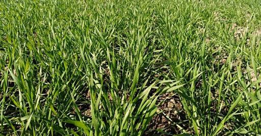 عقبماندگی رشد غلات در شیروان با بارندگی بهاره جبران شد