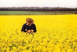 خوزستان تنها تولیدکننده بذر کلزای هیبرید بهاره کشور