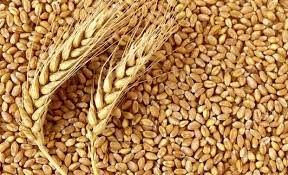 افزایش عملکرد گندم در گرو رعایت اصلاح الگوی کشت