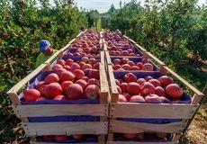 برداشت سیب از باغات آذربایجان غربی