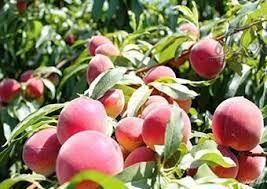 پیش بینی برداشت چهار هزار و ۶۰۰ تن هلو از باغات خراسان شمالی