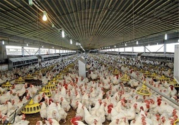 بیش از ۳۹ هزار تن گوشت مرغ در استان بوشهر تولید میشود