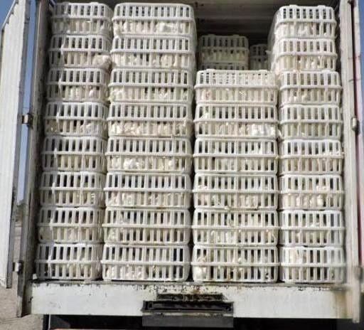 کشف پنج تن مرغ قاچاق در شهرستان چرداول