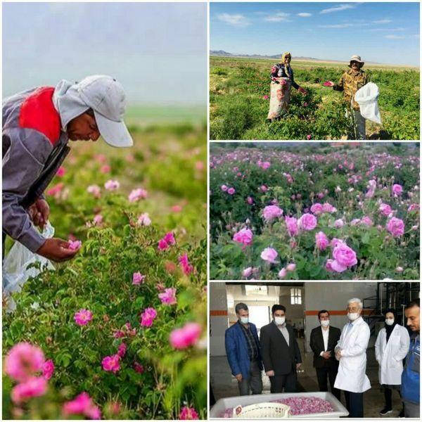 آغاز برداشت گل محمدی در شهرستان جاجرم