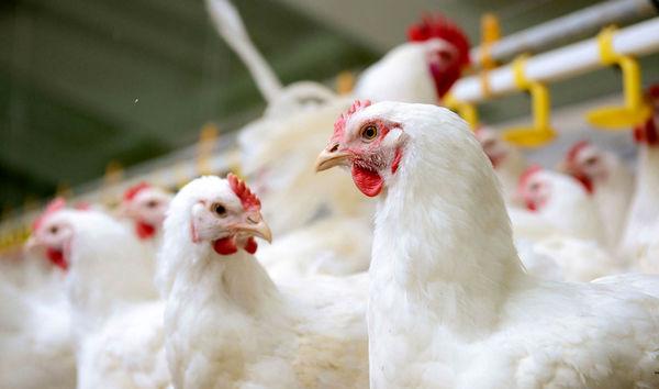 قطعی برق مانع وزنگیری مرغها
