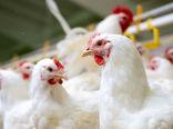 شاخص قیمت تولیدکننده محصولات مرغداریهای صنعتی کشور در تابستان ١٣٩٩