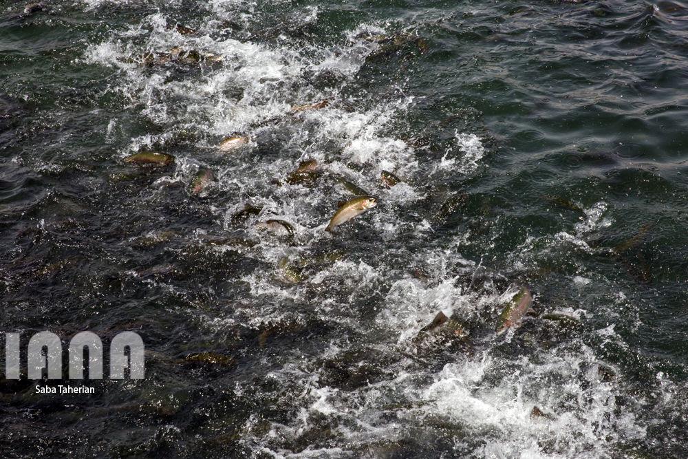 پرورش ماهی سردابی