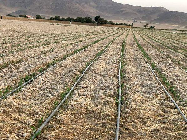 کشت گندم با روش نوار تیپ در ملارد آغاز شد
