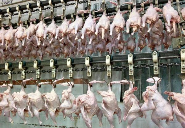 کشتار روزانه ۱۴۰ تن مرغ در کشتارگاههای لرستان