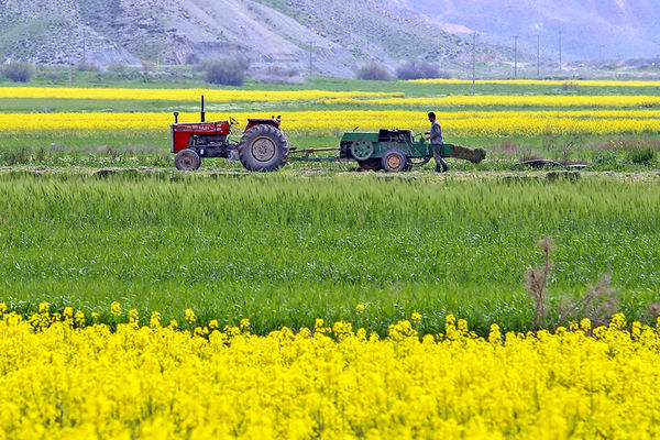 برداشت کلزا از سطح کشتزارهای خراسان شمالی آغاز شد
