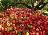 آغاز خرید توافقی سیب درختی درجه سه در فارس