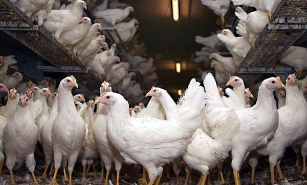 پرداخت 300میلیارد تومان خسارت به مرغداریها