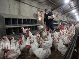 دلالی و حمل و نقل عامل گرانی مرغ