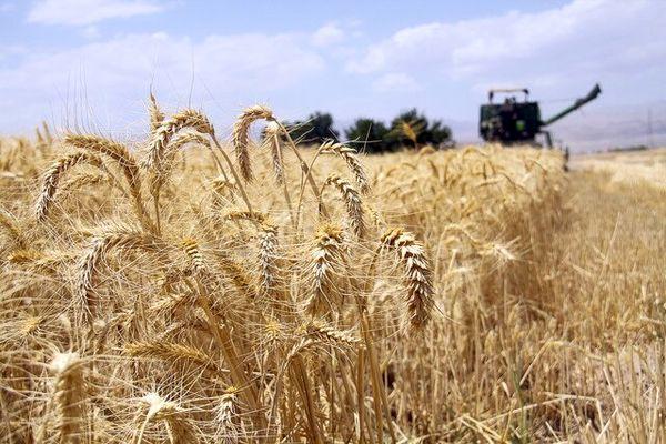 خرید تضمینی گندم در چهارمحال و بختیاری از فردا آغاز می شود