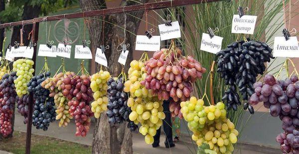 ۳۰ رقم انگور جدید در خراسان شمالی تولید شد