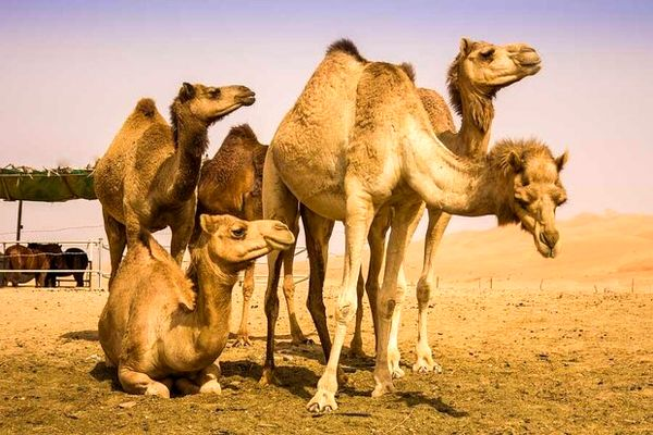 توسعه پرورش شتر در شهرستانهای کویری اصفهان