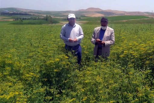 کشت 83 هکتار گیاه داروئی رازیانه در اراضی پایاب سد سهند هشترود