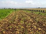 پیشبینی برداشت ۱۷۰ هزار تن سیب زمینی از مزارع همدان