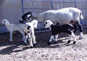 آغاز فصل زایش گله تحت پوشش طرح گوسفند نژاد پربازده شهرستان تهران