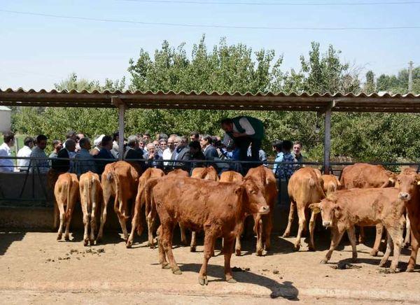 وزیر جهاد کشاورزی از مرکز پشتیبانی و مطالعات گاو بومی سراب بازدید کرد