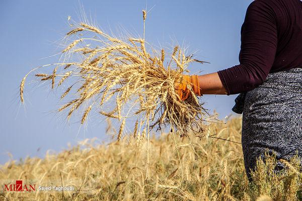 پیشبینی برداشت بیش از 102 هزار تن گندم از مزارع شهرستان اردبیل