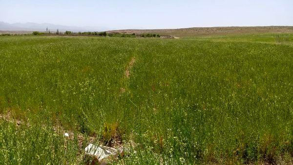 کشت منداب در اراضی زراعی خرم بید