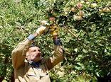 ۶ هزار تُن سیب گلاب در سمیرم برداشت میشود