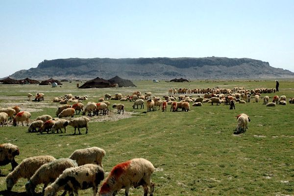 3200 تن جوی دامی در میان عشایر سیستان و بلوچستان توزیع شد