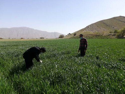 انتظار افزایش 20 درصدی تولید در مزارع گندم بنیان شیراز
