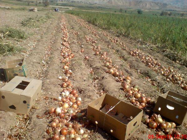 ۱۸ هزار تن پیاز از اراضی کشاورزی استان یزد برداشت شد
