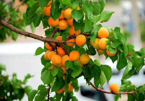 کاهش 27 درصدی تولید زردآلو در اصفهان