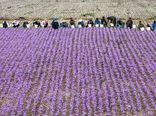 عرضه زعفران در بورس برای کمک به کشاورزان خرده پا