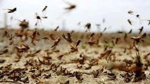 ادارات هرمزگان برای مقابله با ملخهای صحرایی بسیج شوند