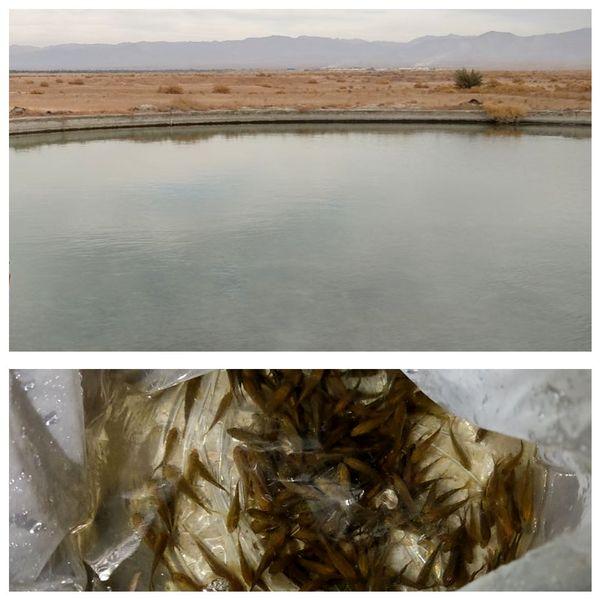 رهاسازی بچه ماهی آمور وکپور در طبس